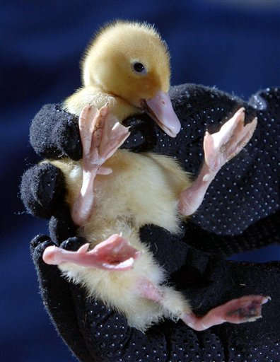 Baby Duck Stumpy